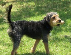 Wire-haired Terrier Mix